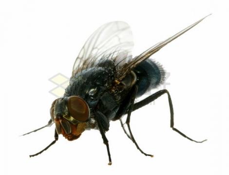 讨厌的苍蝇png图片素材