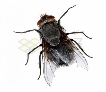 一只小苍蝇png图片素材