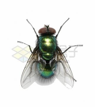 一只绿头苍蝇害虫png图片素材