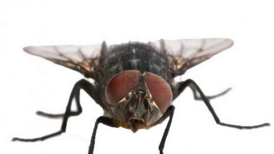苍蝇正面图png图片素材