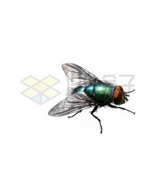 高清绿头苍蝇png图片素材