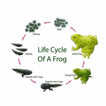 从青蛙卵到小蝌蚪最后变成青蛙发育过程png图片免抠eps矢量素材