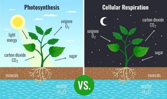 植物白天光合作用和晚上呼吸作用配图png图片免抠矢量素材