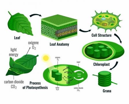 植物绿叶细胞和叶绿素的光合作用png图片免抠矢量素材