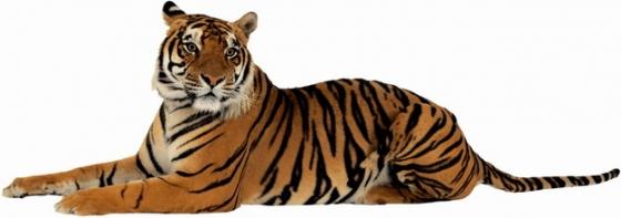 趴在地上的老虎野生动物猛兽png图片素材