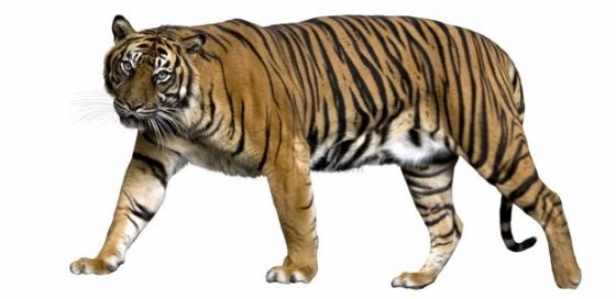 歪头的老虎野生动物猛兽png图片素材